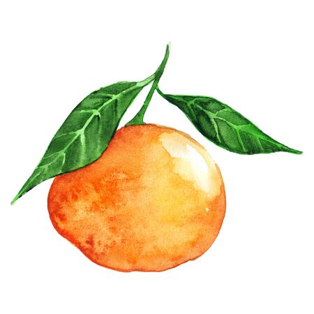 mandarin: Watercolor ripe orange mandarin citrus fruit isolated. Stock Photo