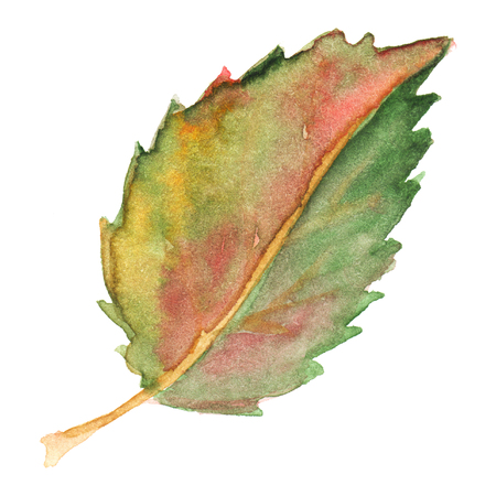 yellow red: Autumn fall green yellow red leaf isolated. Stock Photo