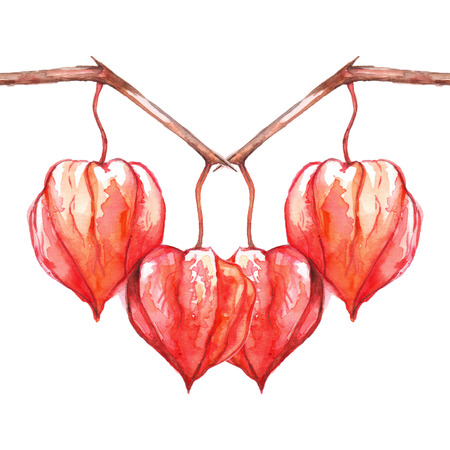 berry: Watercolor hand drawn physalis fruit berry isolated. Stock Photo