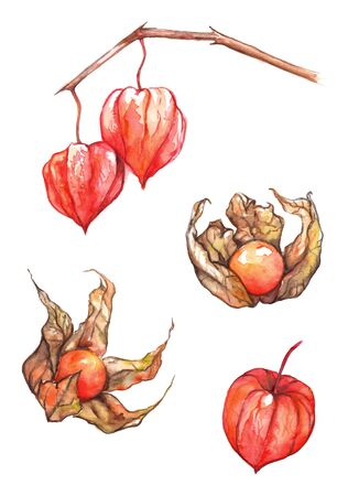 Watercolor hand drawn physalis fruit berry set isolated.