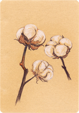 boll: Vintage cotton sepia plant sketch craft paper isolated.