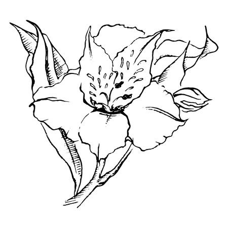 Monochrome alstroemeria flower isolated sketched art vector . Illustration
