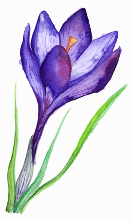 violet purple: Watercolor hand drawn violet purple crocus flower isolated.