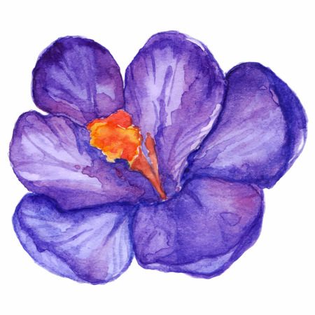 crocus: Watercolor hand drawn violet purple crocus flower isolated.
