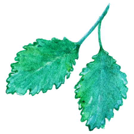 spearmint: Watercolor mint peppermint spearmint leaf isolated vector.