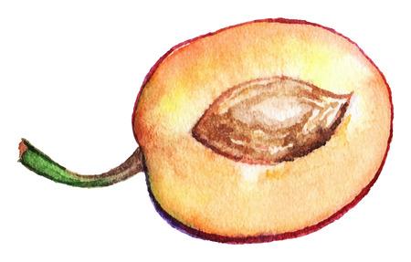 prune: Watercolor slice plum prune fruit isolated vector.