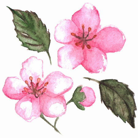 isolated flower: Watercolor pink cherry sakura flower isolated vector.