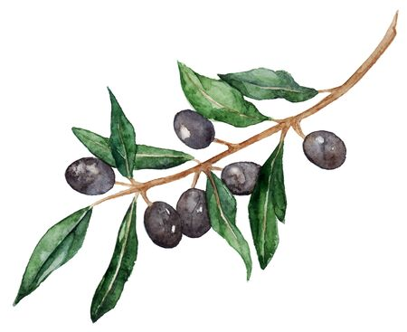 Watercolor olive oliva branch with olives isolated vector.