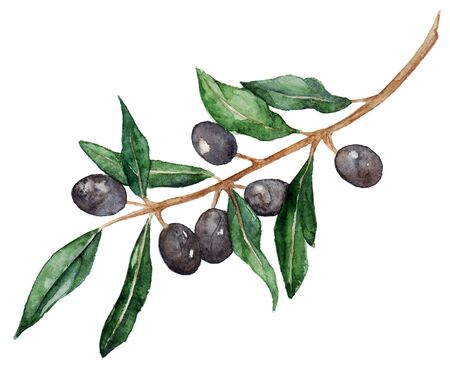 oliva: Watercolor olive oliva branch with olives isolated. Stock Photo