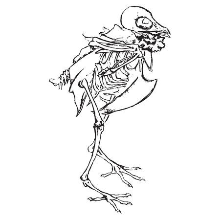 Monochrome skeleton of pigeon dove bird sketch vector.