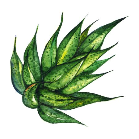 agave: Watercolor succulent agave aloe plant hand drawn isolated. Stock Photo