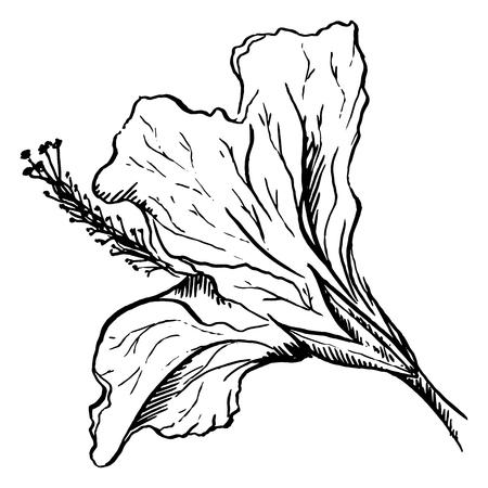 pistil: Monochrome hibiscus flower plant line art vector.