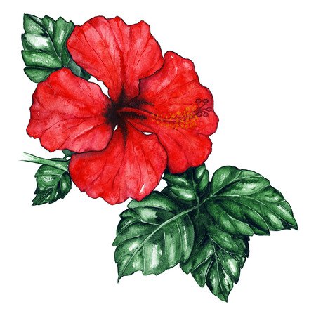 pistil: Watercolor red hibiscus karkade tropical exotic flower plant isolated.