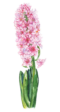 Watercolor pink hyacinth flower green leaf nature plant isolated.