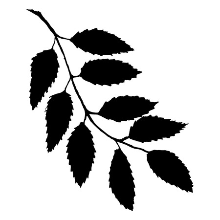 Monochrome black rowan ashberry leaf branch silhouette botanical illustration isolated vector. Çizim