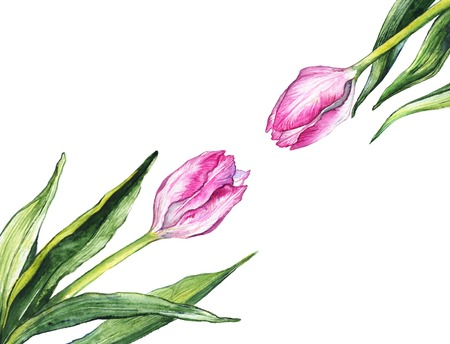 Watercolor pink tulip flower couple pair two composition nature sample isolated.