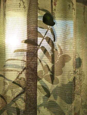 Zamioculcas zamiofolia home plant flower leaf window tulle shadow sunset sunshine background photo.