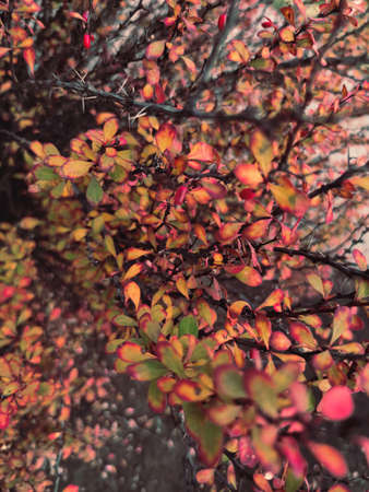 Autumn red yellow barberry berberis bush shrub branch berry plant nature close up macro photo background. Stock fotó