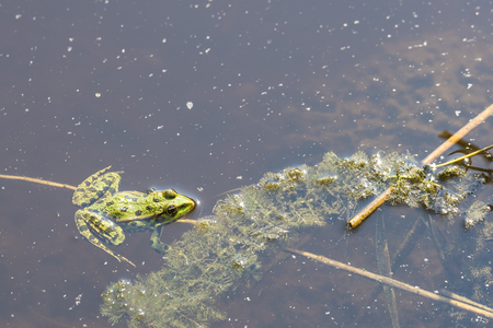 kissing mouth: Frog in the water