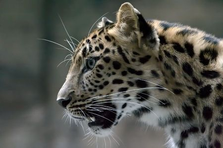 felid: Shot of a head of leopard