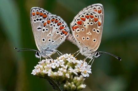 coitus: Contact - close-up of the butterflies Stock Photo