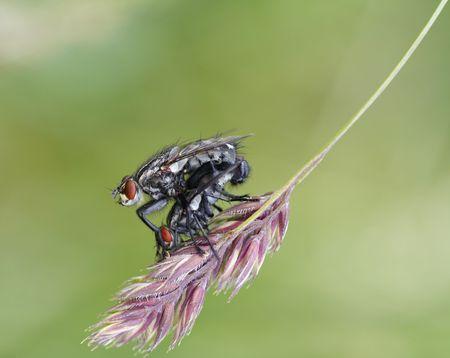 coitus: Coupling - detail (close-up) of a flies