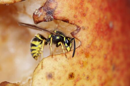 glutton: Detail (close-up) of a wasp at the apple