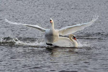 freshwater bird: Swans - collision on the river