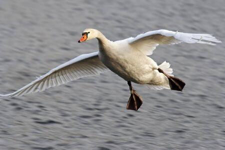 freshwater bird: Shot of the flying swan Stock Photo