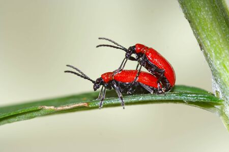 coitus: Detail (close-up) of a bugs - chrysomelid beetle
