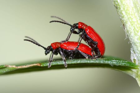 Detail (close-up) of a bugs - chrysomelid beetle