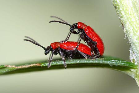 Detalle (close-up) de un bugs - chrysomelid escarabajo