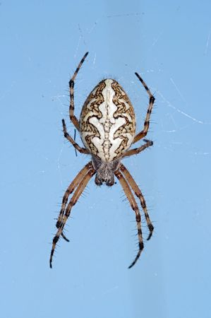 arachnoid: Detail (close-up) of the spider - cross spider