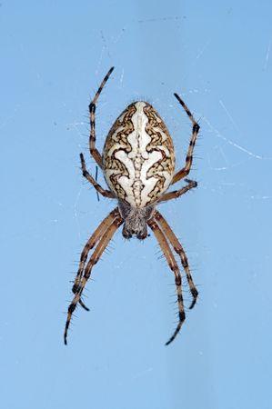 arachnoid: Dettaglio (close-up) del ragno - ragno croce