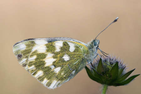 Detail (close-up) of a garden white butterfly Stock Photo - 2263332