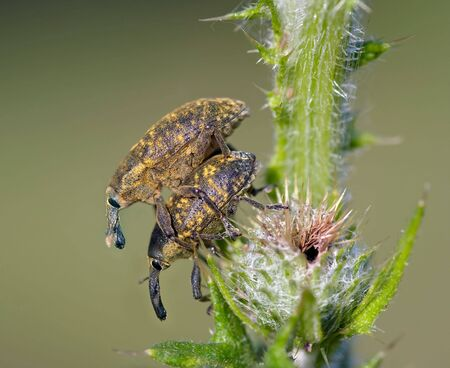 pales: Detail (close-up) of the two bugs - weevils