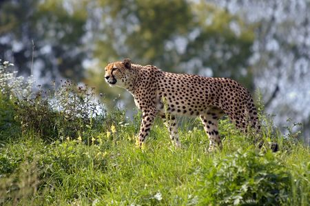 felid: Shot of the hunting leopard