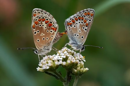 coitus: Detail (close-up) of the two butterflies