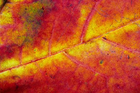 falltime: Detail (close-up) of an autumn leaf
