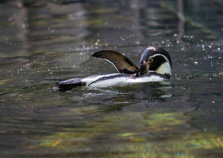 backstroke: penguin - swim the backstroke