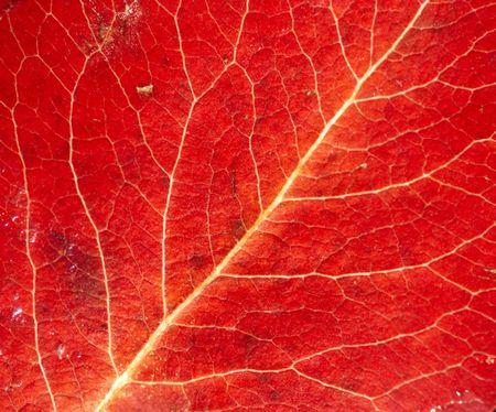 Ribbing - close-up of the autumn leaf Standard-Bild