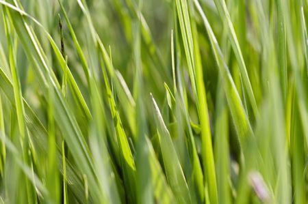 greengrass: Abstract shot of the grass - close-up