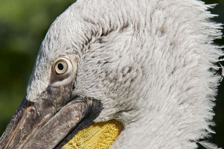 Dalmatian pelican - detail of the head Stock Photo - 3532821
