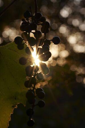 back lighting: grapes in back lighting