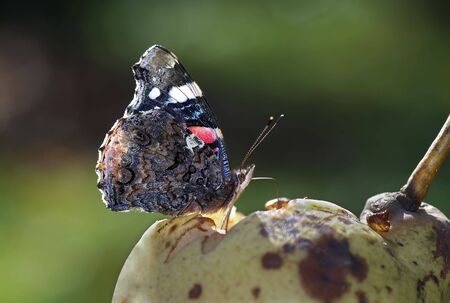 revel: brush-footed butterfly Stock Photo