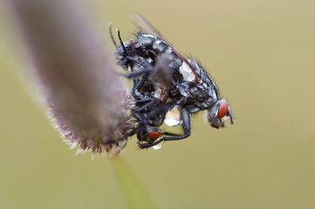 coitus: Detail (close-up) of the flies