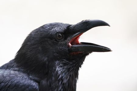 head of raven photo