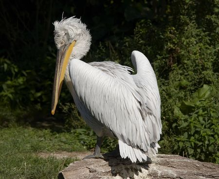 Dalmatian pelican Stock Photo - 3592589