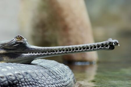 endangered species: Indial gavial - endangered species