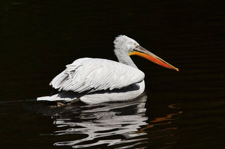 Shot of the Dalmatian pelican on the water Stock Photo - 3612872